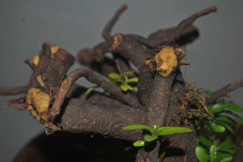 Roots as trunk Dsc_1222