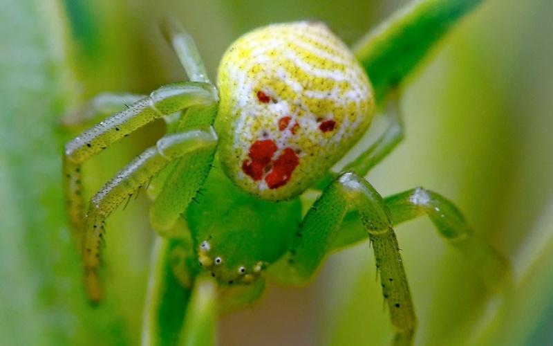 araignée paon Clown-10