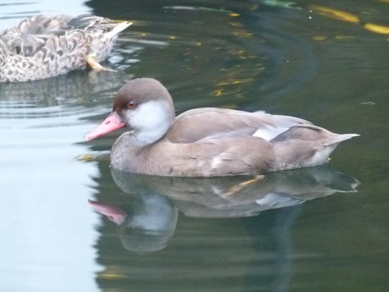 oiseaux vus à Las Végas P1260313