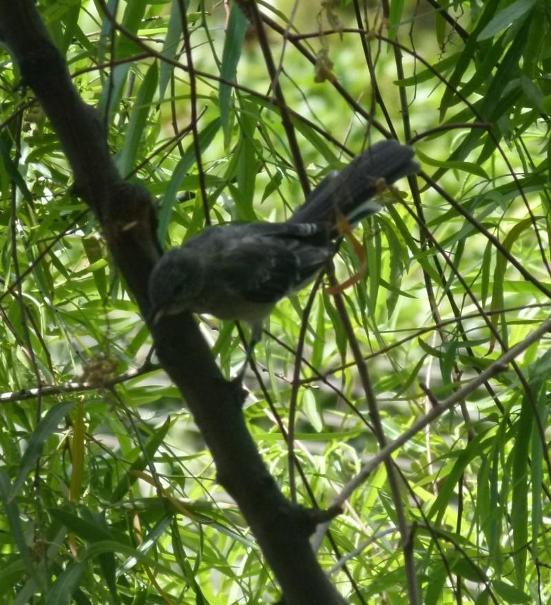 oiseaux vus à Las Végas Ss10