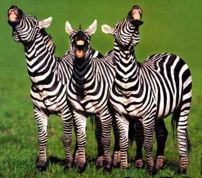 Joyeux Anniversaire zebramannn ! Zebres10