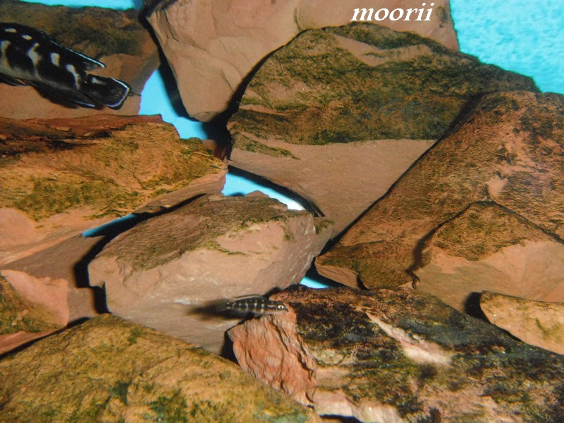 Julidochromis transcriptus Bemba - Page 2 000812