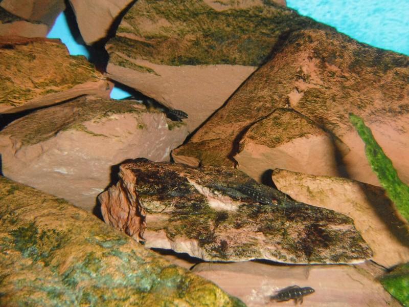 Julidochromis transcriptus Bemba - Page 2 001012