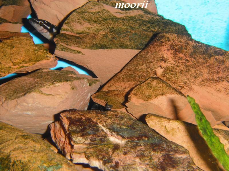Julidochromis transcriptus Bemba - Page 2 001112