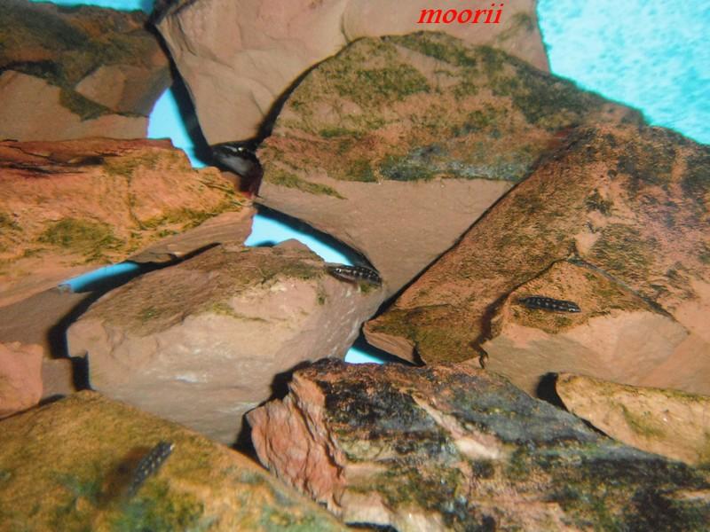 Julidochromis transcriptus Bemba - Page 2 001212