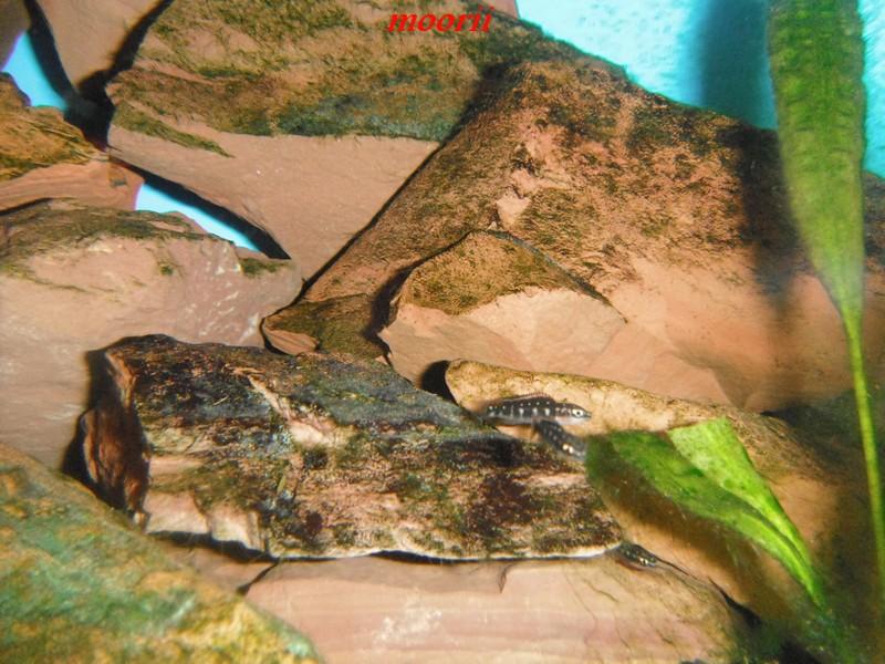 Julidochromis transcriptus Bemba - Page 2 001312