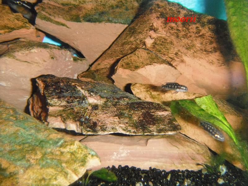 Julidochromis transcriptus Bemba - Page 2 001411