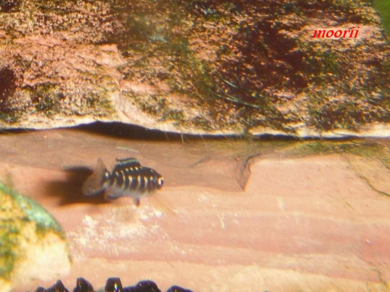 Julidochromis transcriptus Bemba - Page 2 001511