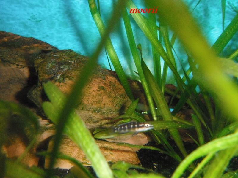 Julidochromis transcriptus Bemba - Page 2 001611