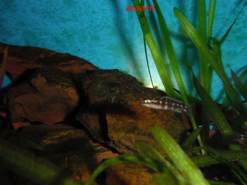 Julidochromis transcriptus Bemba - Page 2 001711
