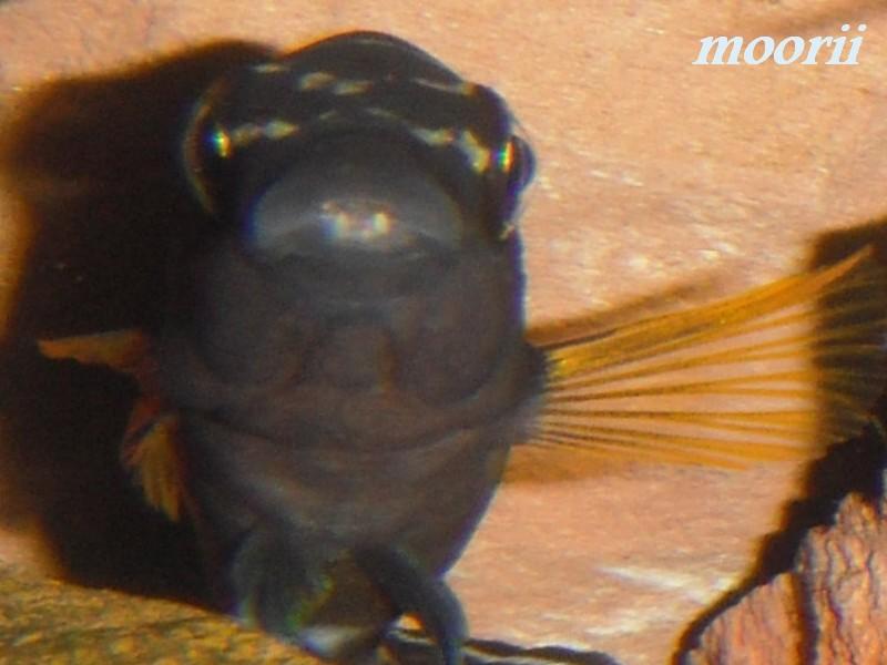 Julidochromis transcriptus Bemba - Page 2 002010