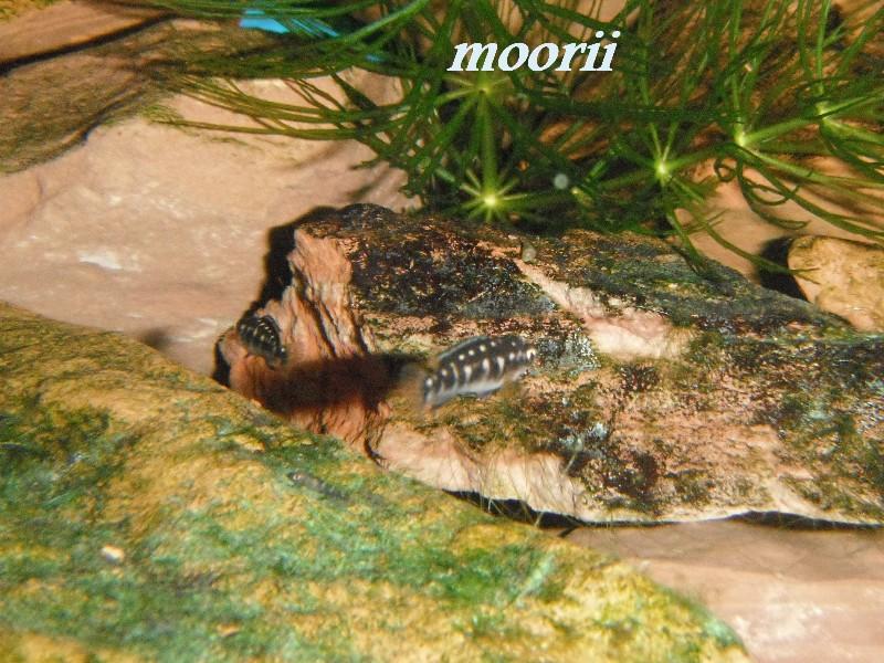 Julidochromis transcriptus Bemba - Page 2 002210
