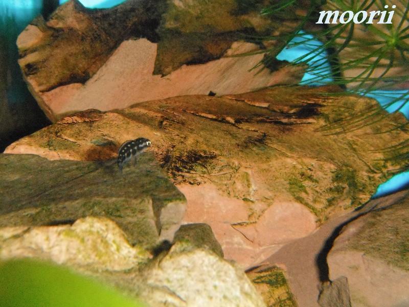 Julidochromis transcriptus Bemba - Page 2 002710