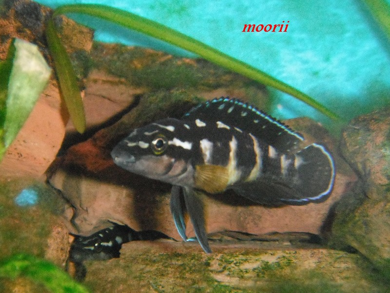 Julidochromis transcriptus Bemba - Page 2 003010