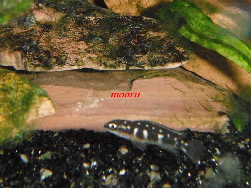 Julidochromis transcriptus Bemba - Page 2 003210