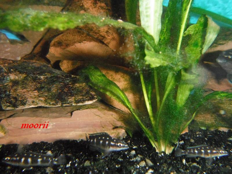 Julidochromis transcriptus Bemba - Page 2 003810