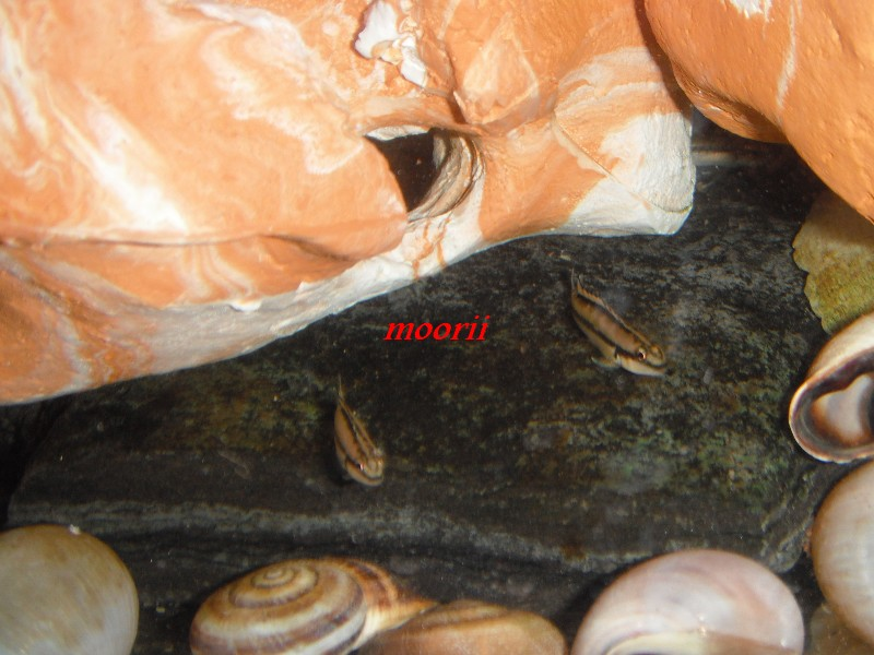 maintenance Telmatochromis vittatus kipili - Page 2 011610