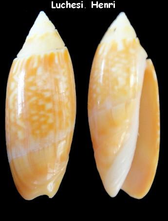 Agaronia gibbosa - orange -(Anazola) Born, 1778 Oliva_12