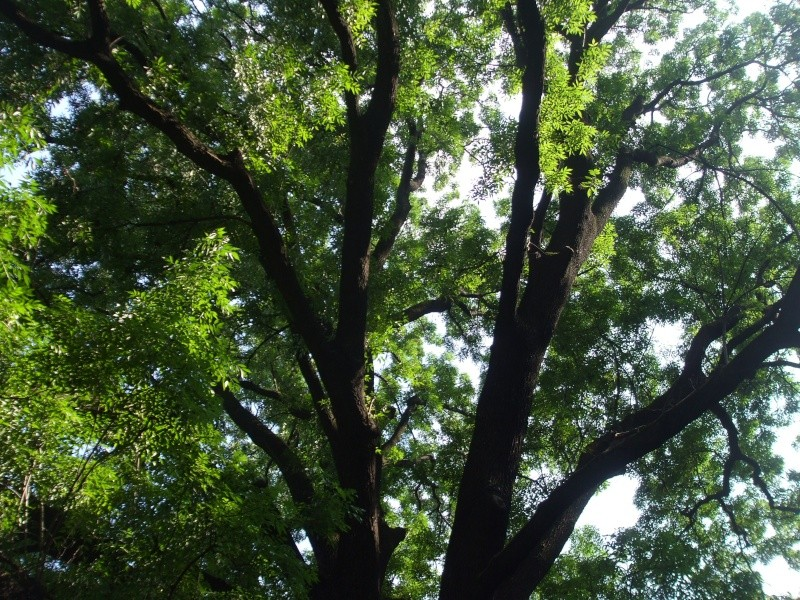 le Frêne- Fraxinus excelsior Dscf7312