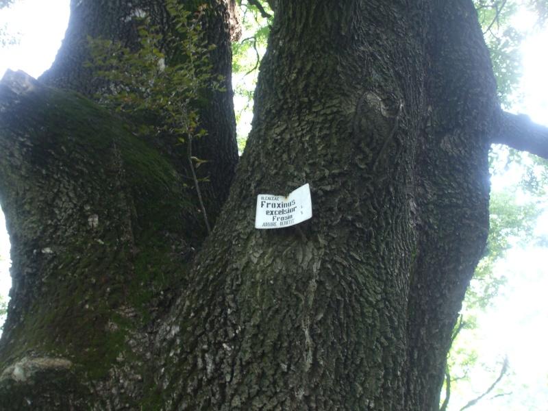 le Frêne- Fraxinus excelsior Dscf7313