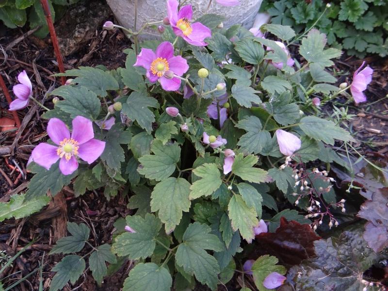 anemones du japon  - Page 2 Dsc01827