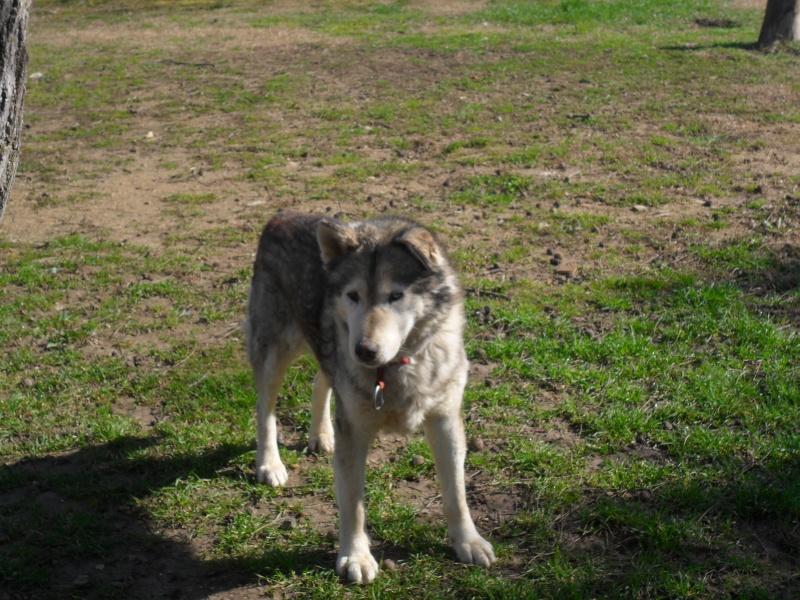 LUCKY Husky 16 ans et demi ASSO65  DECEDE - Page 3 Sam_0413