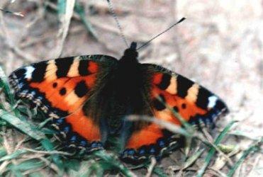 les papillons Aglais10