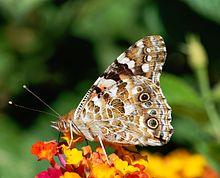 les papillons Belle_10