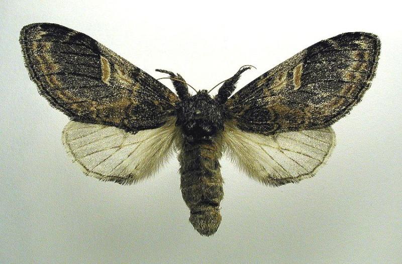 les papillons Notodo10