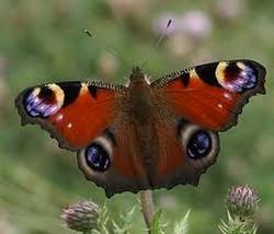les papillons Paon_d10
