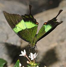 les papillons Papili10