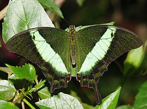 les papillons Papili11