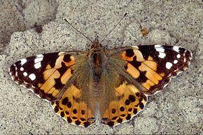 les papillons Vaness10