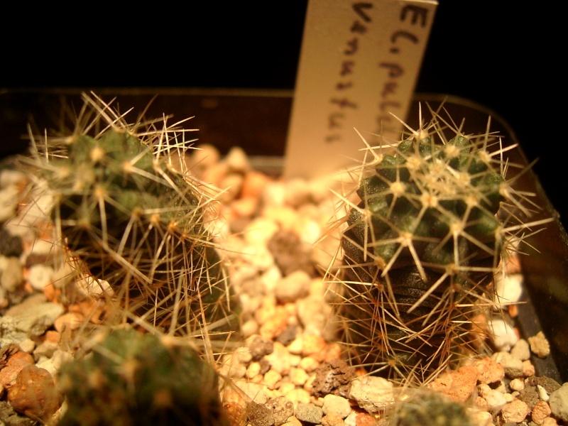 ECC.pulchellus ssp.venustus Entwicklung Forum_12