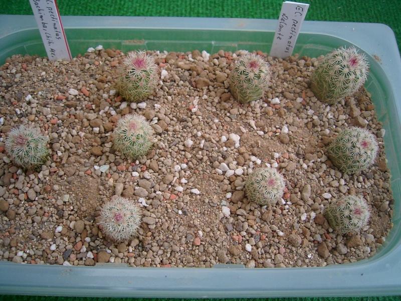 Echinocereus-Aussaaten Achim / Elke im Vergleich - Seite 2 Pflanz10
