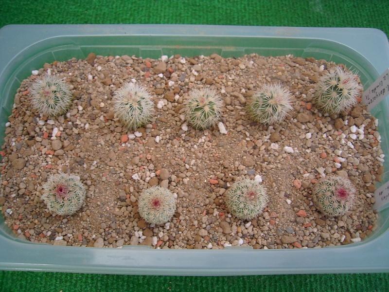 Echinocereus-Aussaaten Achim / Elke im Vergleich - Seite 2 Pflanz11