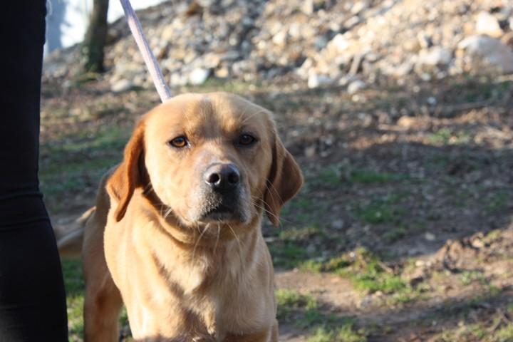 ALFI(Gamin) Labrador sable 250269802062096 Img_8443