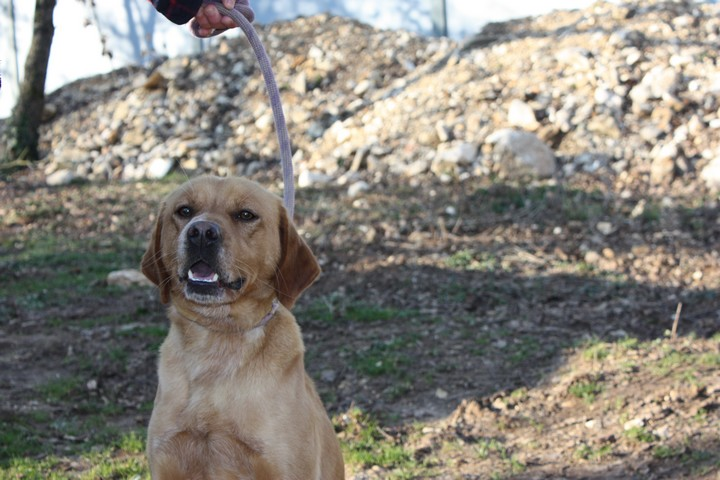 ALFI(Gamin) Labrador sable 250269802062096 Img_8444
