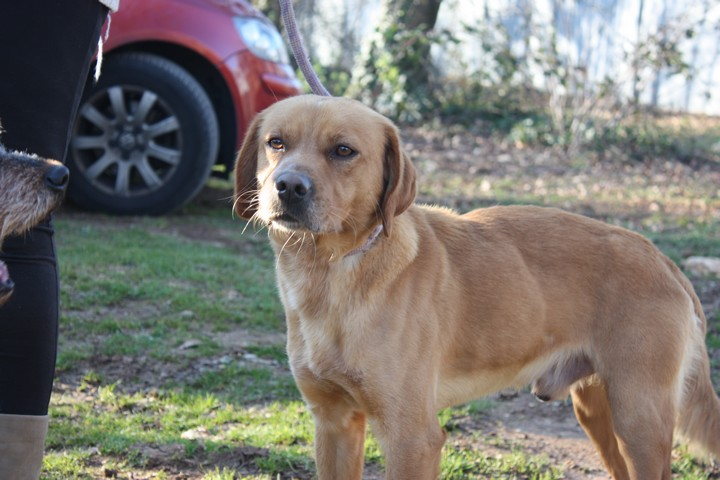 ALFI(Gamin) Labrador sable 250269802062096 Img_8445