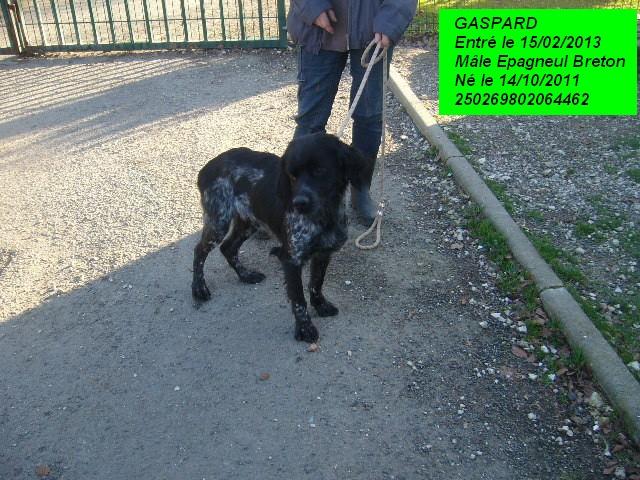 GASPARD Epagneul Breton 250269802064462 P1150326