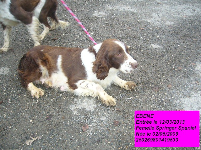 EBENE Springer Spaniel 250269801419533 P1150515