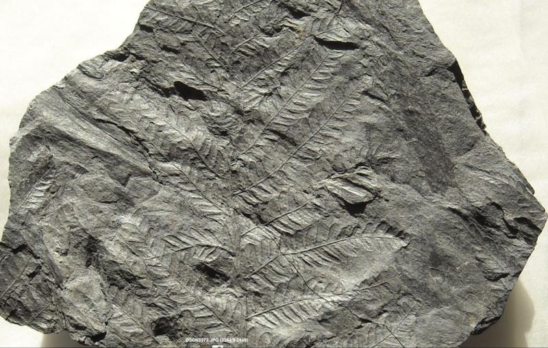 Pecopteris (Brongniart ) , Sternberg 1825. 0000110