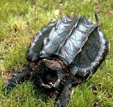 Les tortues alligator sont elles vraiment faites pour être domestiquées? Tortue10