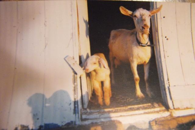 Besoin d'informations sur les chèvres, SVP ! 2010_110