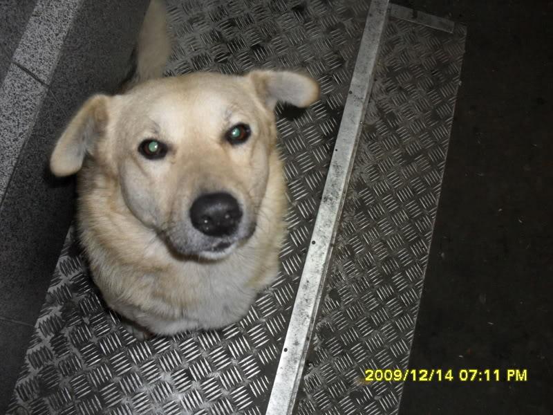 Pongo, chien des rues, né en 2009, très affectueux !! Pictur10
