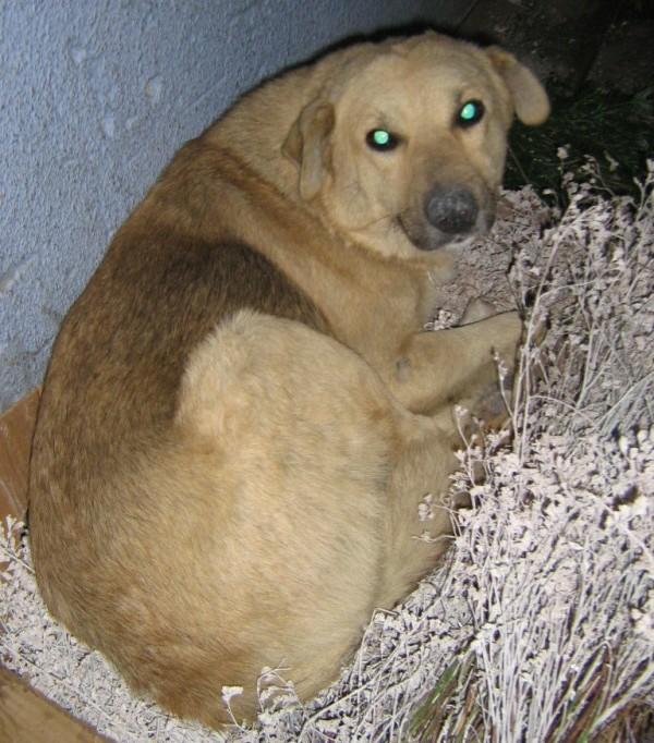 Pongo, chien des rues, né en 2009, très affectueux !! Pongo210