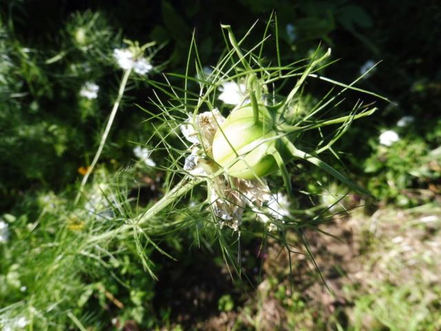 Histoire de plantes et de jardinage P1070516