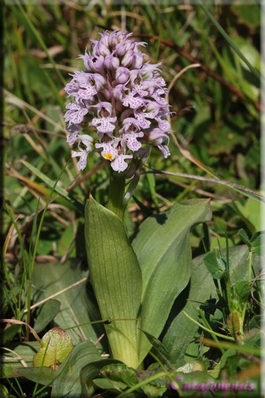 Neotinea conica ( Orchis conique ) Or_con10
