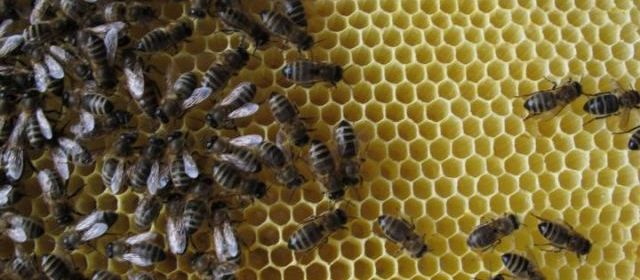 Les abeilles, témoins du bon état de notre environnement, disparaissent massivement 25623610