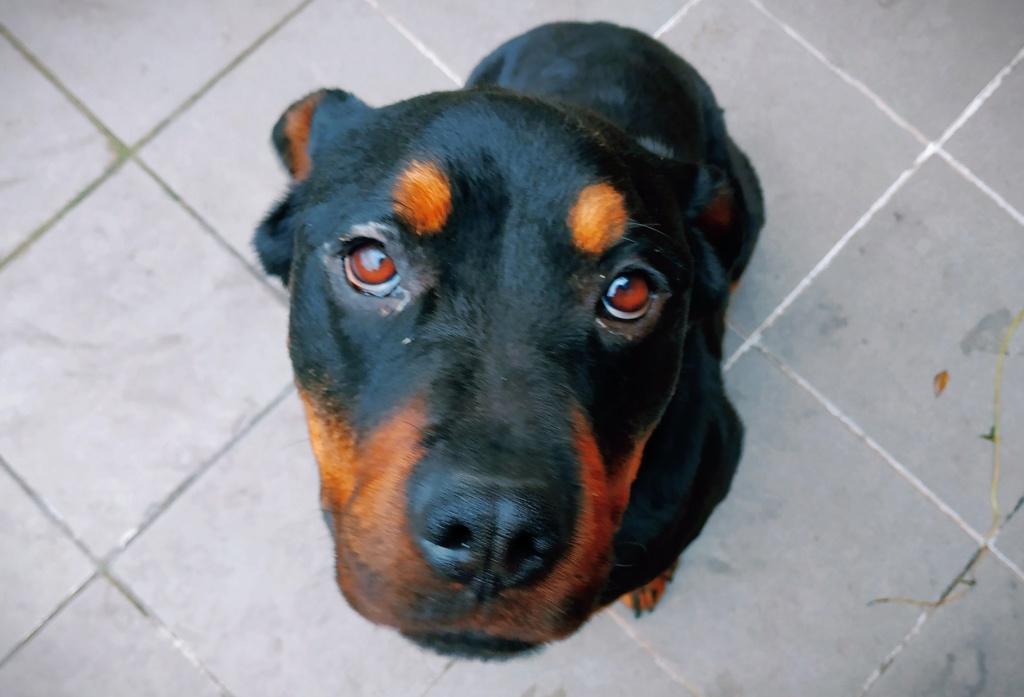 RIHANNA - femelle Rottweiler de taille moyenne, née environ en  2015 (PASCANI) - adoptée par Jessica (Belgique) - Page 2 Img_2035
